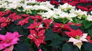Julstjärnor i olika färger