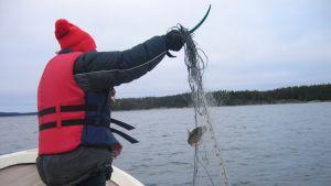 Fritidsfiskare med röd mössa och flytväst tar upp nät med en abborre i sin roddbåt.