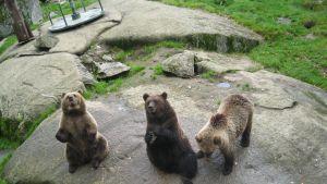 Yogande björnar