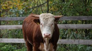 Ko på Mörby Gård