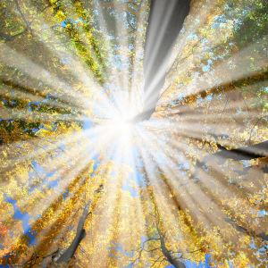 Solen skiner igenom lävträdskrona.