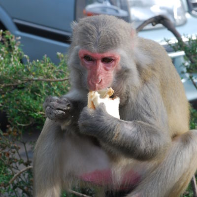 En apa äter en smörgås