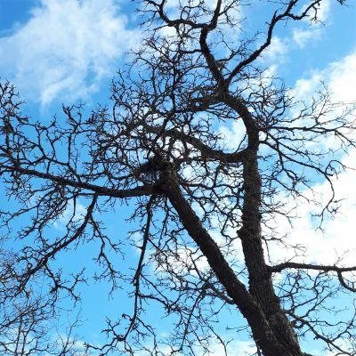 Lehdettömien puiden latvoja vasten taivasta
