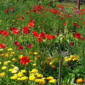 en blomsteräng och ett trädgårdsland med bland annat vallmo och ringblomma