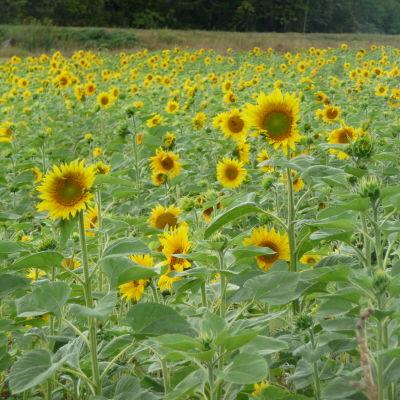 Ett fält med solrosor