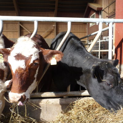 tre kor, två brun-vita, en svart, äter hö. De är i ett lösdriftsstall.