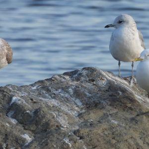 Tre måsar sittande på en sten, två av måsarna har bara ett ben.