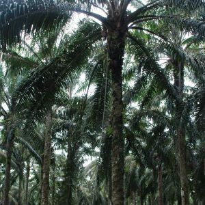 Det är en konst att skörda oljepalmernas frukter. I vissa fall måste arbetarna använda mer än tio meter långa skärare för att komma åt dem