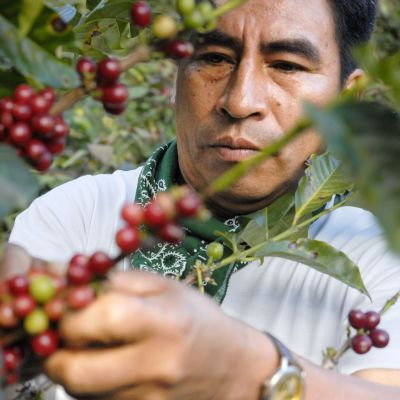Kaffebönor plockas i Ecuador