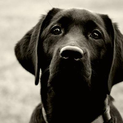 En svart hund tittar in i kameran.
