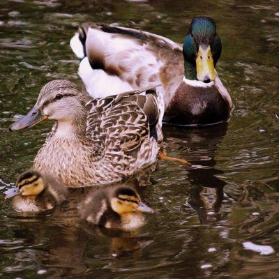 Bild på en gräsandsfamilj i vatten, en hona, en hane och två små fågelungar.
