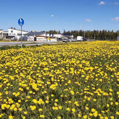 Kertunlaakson koulu Seinäjoella, edustalla keltainen voikukkapelto.