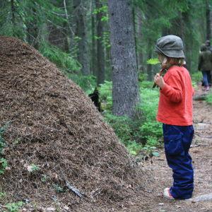 Suuri muurahaispesä metsässä.