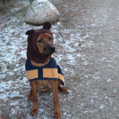 Påklädd ung hund bor på hundhotell i Pikis