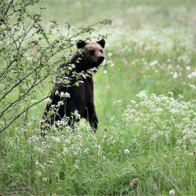 Karhu isuu pellon keskellä.