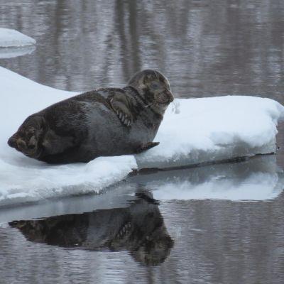 Norppa köllöttelee Savonlinnan Tallisaaren rannassa.