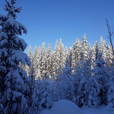 Lumista metsää Liperissä.