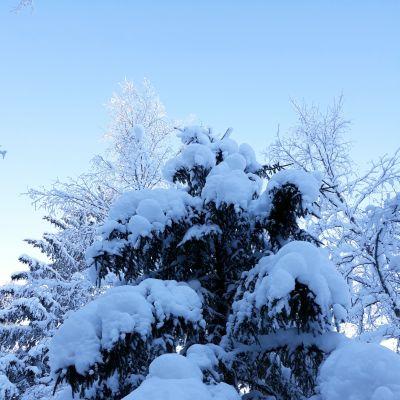 Luminen kuusi.