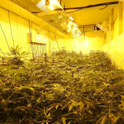 Poliisin kuva huumeviljelmästä.