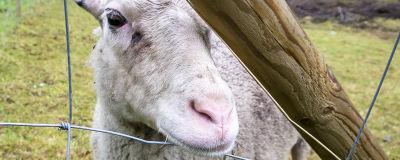 Lammas kurkistaa aidan läpi.