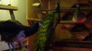 Påfåglar på  pinnei fågelhuset i hittedjurshemmet Skeppsdal Family i Ingå. I fågelhuset finns också höns, men de syns knappt.