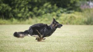Schäfer springer på gräsmatta.
