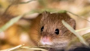 Tarkkasilmäinen hiiri