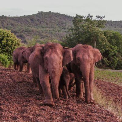 Elefanter på en åker.