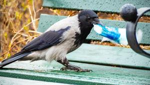 En kråka står på en bänk och håller i en plastbit i näbben.