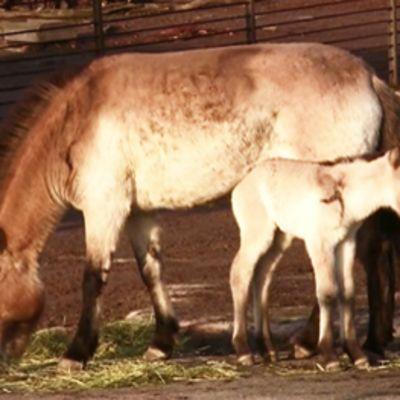 Mongolianvillihevonen varsoineen Korkeasaaressa.