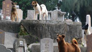 Tre herrelösa hundar i Kina.