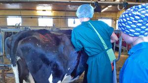 Kandi Ilkka tekee lehmälle juoksutusmahaoperaatiota