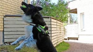 En hund som hoppar upp och fångar en tennisboll i munnen.