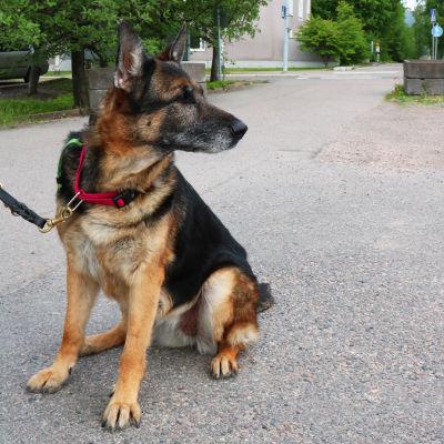 En schäfer tik som sitter på en parkeringsplats. Hunden är kopplad och tittar åt sidan.