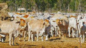 Nötboskap i Darwinregionen i Australien.