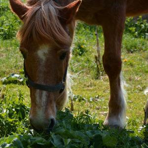Närbild på hästen Poku som äter gräs och maskrosor.