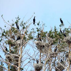 En bild på skarvar som sitter i trädtoppar. Det är flera skarvar och flera skarvbon på bilden. De flesta av träden är döda men några gröna tallkvistar syns också.