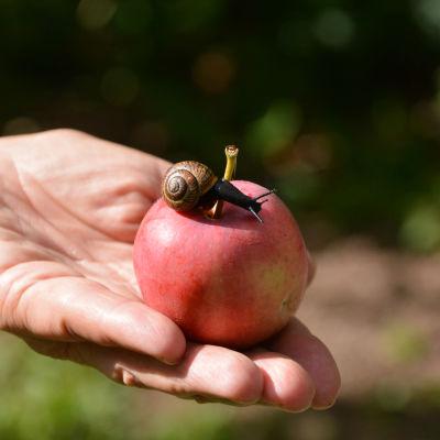 En hand håller i ett äpple med en snäcka på.