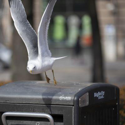 Kalalokki roskiksen päällä lentoon lähdössä