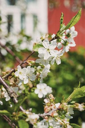 Ett blommande äppelträd.