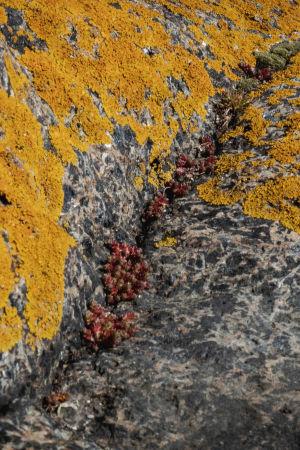 Kaksi erilaista jäkälälajia kasvavat kalliolla.