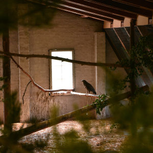 En mindre skrikörn sitter på en kvist inne i sin stora bur.