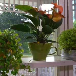 grönväxter i fönster