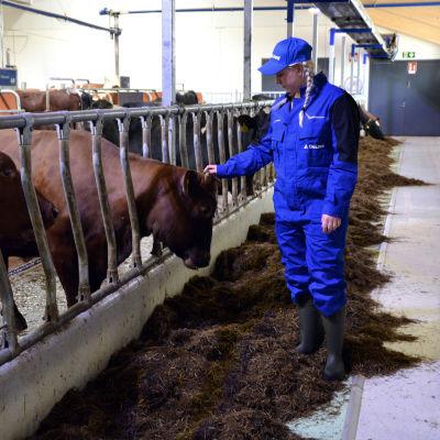 Mjölkbonden Sofia Eriksson står och klappar en mjölkko.