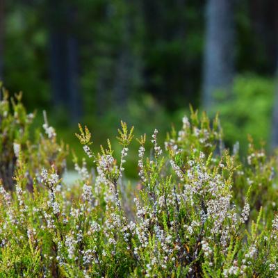 Ljungväxt i skog