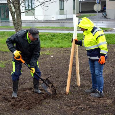 Arto Finnilä och Leila Roininen på Vasa stad planterar ädelträd i Klemetsöparken.