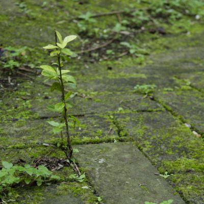 En seg planta