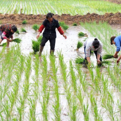 Jordbrukare i Kina planterar vete.