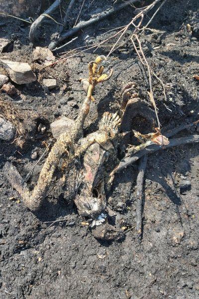 En bild av en bränd stor fågel, sannolikt en örn, som ligger död på bränd svart mark. Bilden är tagen på Degerölandet i Ingå efter en skogsbrand som den här fågeln troligen orsakade. Den orsakade kortslutning, började brinna, föll ner och antände marken.