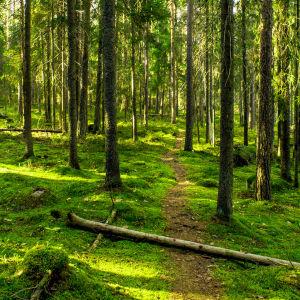 Stig genom mossig mark i blandskog i vackert sidoljus